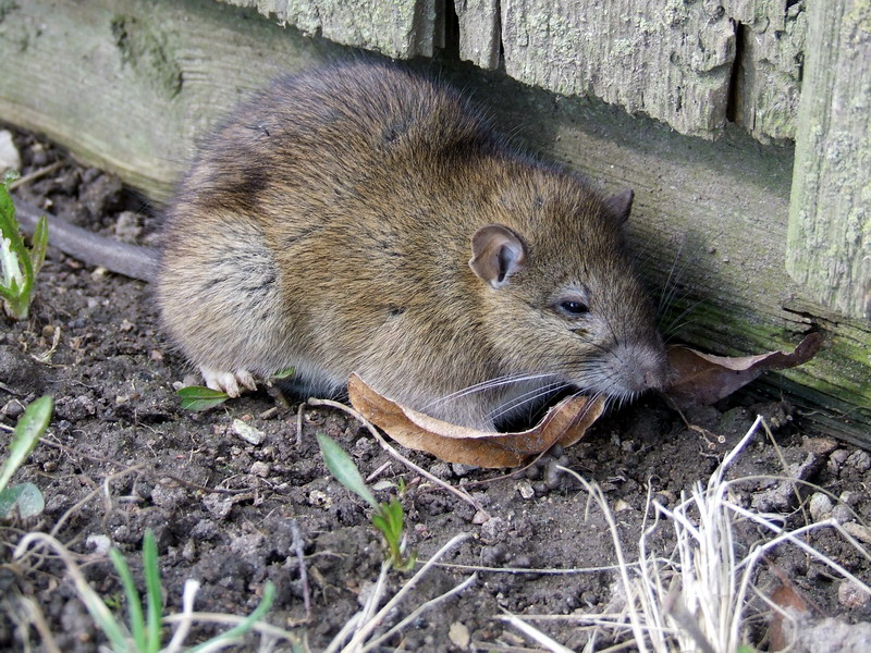 Norway Rat | rodent control | the rodent | rodents | rodent repellent | rodent repeller | rodent pest control |mouse pest control | mice control (rat control)
