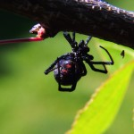 Pest Control Spiders Black Widow