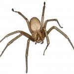 Pest Control Spiders Brown Recluse WBG