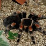 Pest Control Spiders Tarantula