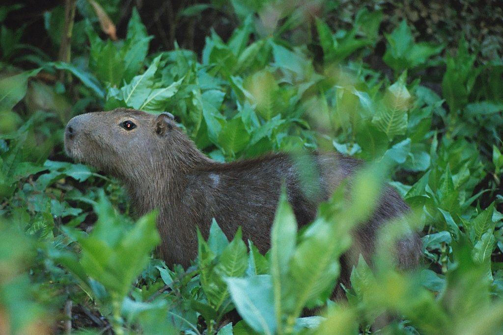 Capybara in Bolivia