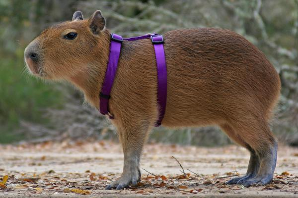 World's Biggest Rat Capybara Harness