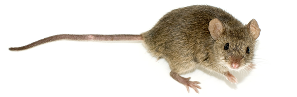 House Mouse | rodent control | the rodent | rodents | rodent repellent | rodent repeller | rodent pest control |mouse pest control | mice control (rat control)